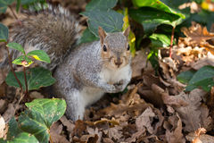 Squirrel. On ground between oak leafs stock images