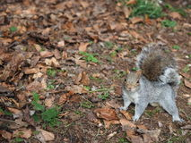 Squirrel on a ground. In a park Stock Photography