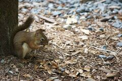 Squirrel on ground under tree Stock Image