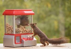 Squirrel in a Gumball Machine. Red squirrel in a Gumball Machine another watching royalty free stock image