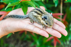 Squirrel on hand Stock Image