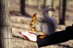 Squirrel. On a hand eating nut Stock Image