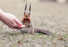 Squirrel and the hand Stock Photo