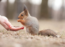 Squirrel and the hand Stock Photos