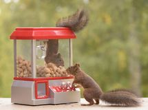 Squirrel hanging in a Gumball Machine. Red squirrel hanging in a Gumball Machine another watching royalty free stock photos