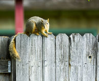 Squirrel hanging out on the fenceline Royalty Free Stock Photos