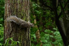 Squirrel Hanging on a Tree Stock Photo