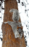 Squirrel hanging in a tree Royalty Free Stock Photos