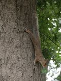 Squirrel hanging on a tree stock photos