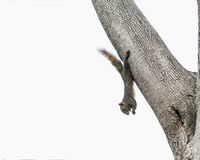 Squirrel hanging on tree trunk and eating nut Royalty Free Stock Photography