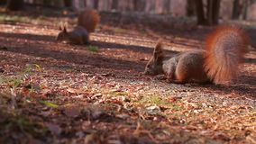 Squirrel stock footage