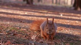 Squirrel stock video