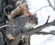 The squirrel has got on a tree. And  looks therefrom with watchfulness at the photographer Stock Photography