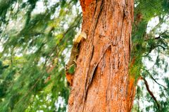 squirrel has smell something on branch tree royalty free stock photos