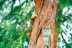 squirrel has smell something on branch pine tree owlet standing royalty free stock image