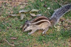Squirrel having long bushy tail eating grass on the field royalty free stock photo