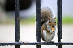 Squirrel having snack. Sitting on the fence Royalty Free Stock Photography