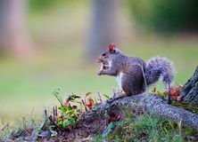 Squirrel having snack. Little squirrel is eating his snack royalty free stock photos