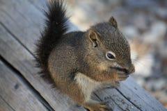 Squirrel having a snack Stock Photos
