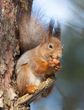 Squirrel with a hazelnut Stock Photo
