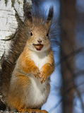 Squirrel with a hazelnut. Funny squirrel with a hazelnut in the teeth Stock Images