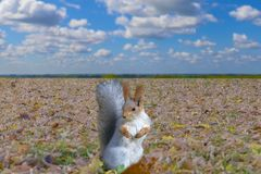 Squirrel.Squirrel is heated in the warm rays of the autumn sun. royalty free stock photos
