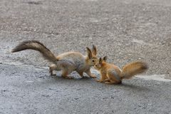 Squirrel and her child, a little squirrel on the pavement in the city Park in the summer stock image