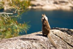 Squirrel at Hetch Hetchy Stock Photography
