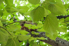 Squirrel hid. Ing behind the leaves branches royalty free stock image