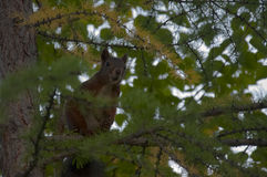 Squirrel hide on the green larch. In the forest Royalty Free Stock Photography