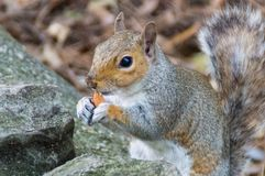 Squirrel Hiding Behind Wall royalty free stock images