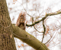 Squirrel hiding at the branch of a tree Stock Photography