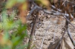 Squirrel hiding in the brush at a park close up. Cute brown squirrel hiding in the leaves and branches at a park in Southern California Royalty Free Stock Photography