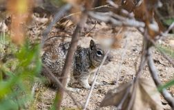 Squirrel hiding in the brush at a park close up. Cute brown squirrel hiding in the leaves and branches at a park in Southern California Stock Photos