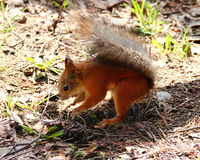 Squirrel Royalty Free Stock Photo