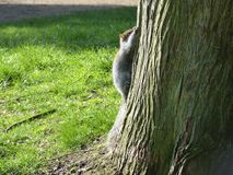 Squirrel, hiding on tree-trunk. Squirrel flat against tree-trunk, hoping not to be seen Stock Photo