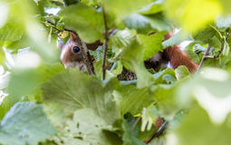 Squirrel hiding in a walnut tree. Squirrel hiding in the walnut tree stock photos