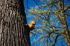 Squirrel high in tree Royalty Free Stock Photography