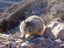 Squirrel Hiker. Inquisitive squirrel on a morning hike down the Grand Canyon Stock Photos