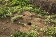 Squirrel hill. Holes from the burrowing of squirrels in the side of a hillside in spring look like a cartoon face of surprise Royalty Free Stock Image