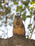 Squirrel and his nut Royalty Free Stock Photo