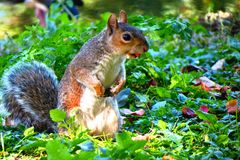 Squirrel and his tongue. Squirrel in a park Stock Photo