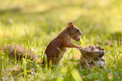Squirrel holding a bag with nuts Royalty Free Stock Image