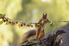 Squirrel holding a branch with gooseberries. Red squirrel is holding a branch with gooseberries Royalty Free Stock Photos