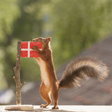 Squirrel holding a Danish flag. Red squirrel is holding a Danish flag Royalty Free Stock Image