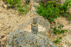 Squirrel holding a flower Royalty Free Stock Images