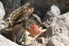 Squirrel Holding Food. Gray and brown squirrel stands upright holding a scrap of discarded food.  Creature is standing on a rugged rock outcropping Stock Images