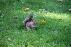 Squirrel holding food and eating stock photo
