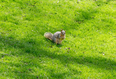 Squirrel Holding food On Green Grass Background. With a curious look of interest and as yet no fear Stock Photo