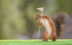 Squirrel  holding a Golf Flag. Red squirrel is holding a Golf Flag Stock Images
